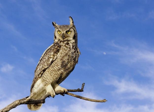 Great horned owl Anatomy