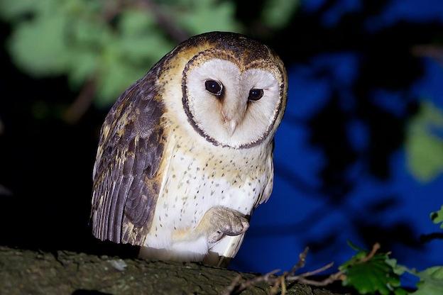 Australian Masked owl Characteristics