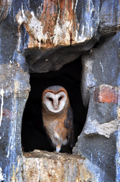 Characteristics about Ghost Owl