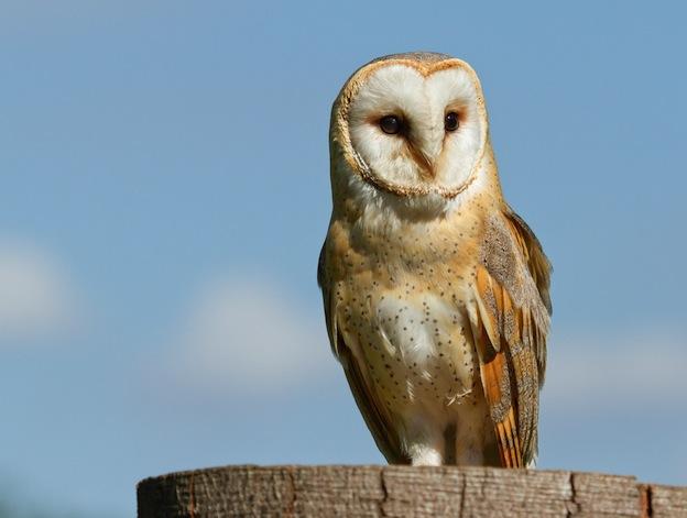 White Owl, Silver Owl or Demon Owl