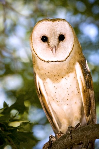 Barn Owl Standing On a Tree