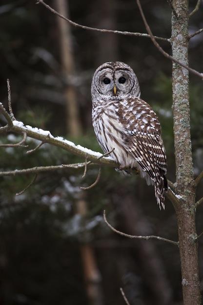 Barred Owl Characteristics