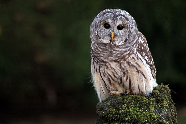 Barred Owl In Canada Forest