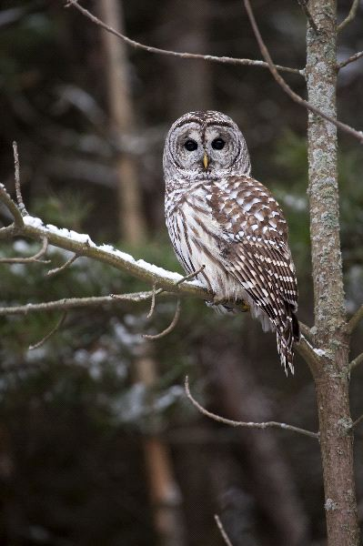 Barred Owl Watching The Camera