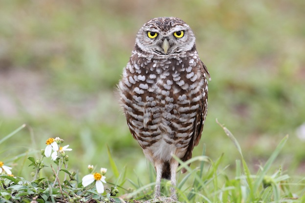 Information about the Burrowing Owl