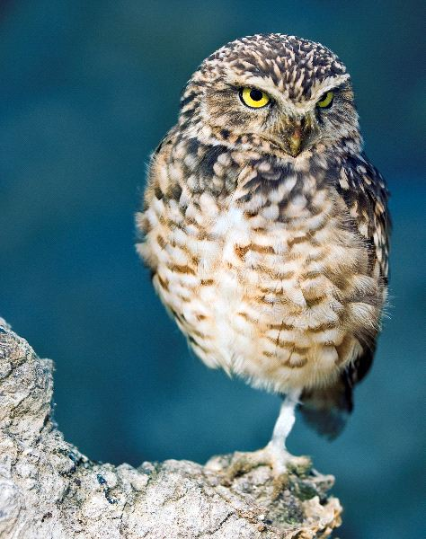 Burrowing Owl And Their Big Yellow Eyes