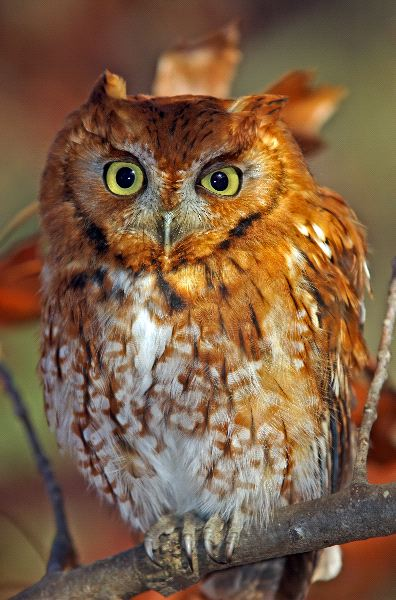 Eastern Screech Owl Close-Up