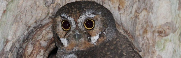 elf owl essay