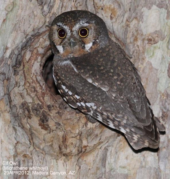 Elf Owl Characteristics