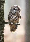 Eurasian Tawny Owl With a Mouse