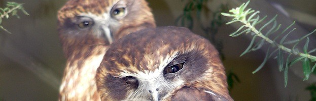 Extinct Owl Species