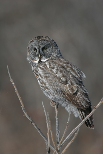 Great Gray Owl or Cinereous Owl