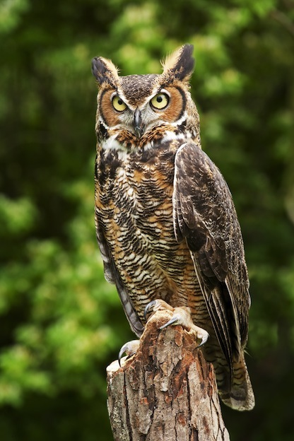 Information about the Great Horned Owl