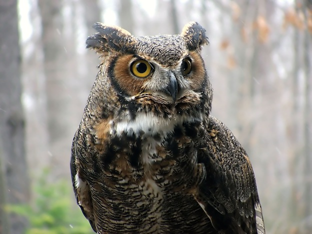 Great Horned Owl Owl Facts And Information