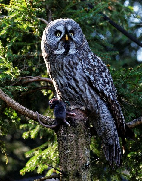 Great Grey Owl also Known as Phantom of the North