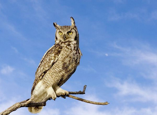 Great_Horned_Owl_In_Blue_Sky_Background_600.jpg