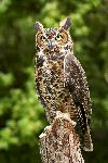 Great Horned Owl Or Tiger Owl
