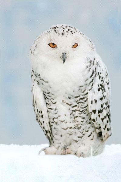 Large Snowy Owl
