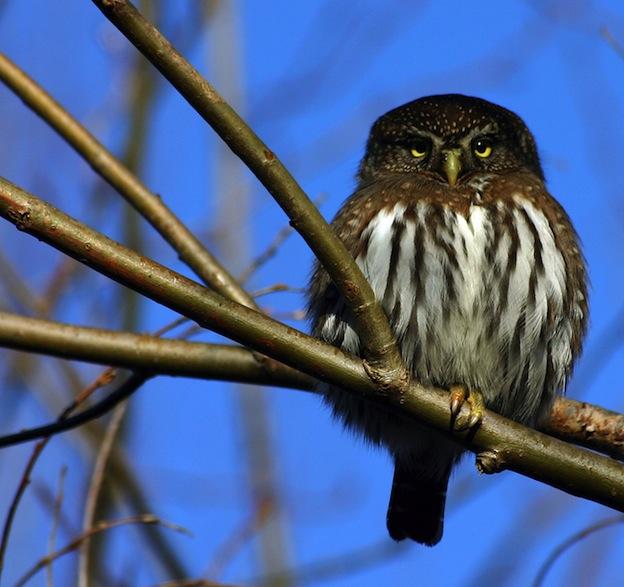 Northern Pygmy Owl characteristics