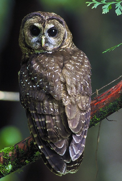 Northern Spotted Owl Characteristics