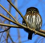 Northern Pigmy Owl And Their Flashy Feathers
