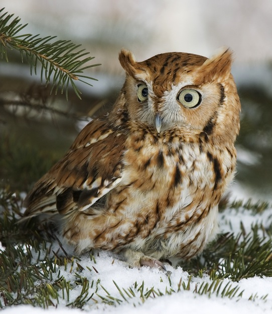 Screech-owl Characteristics
