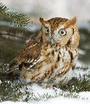 Screech Owl In a Snow Field