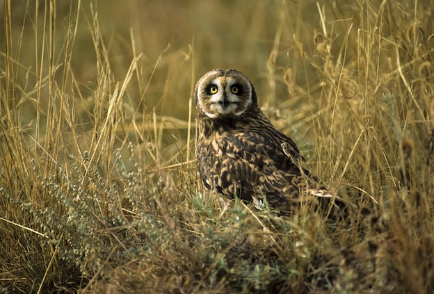 Short eared owl in tall grass