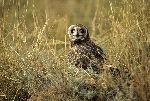 Short Eared Owl In Tall Grass
