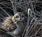 Short Eared Owl Resting On Dry Vegetation