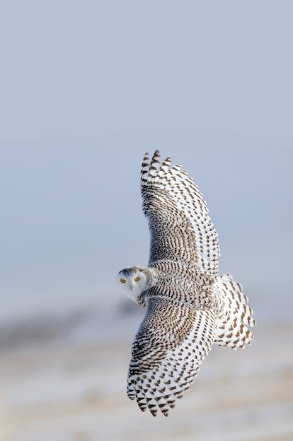 Snowy Owl Characteristics