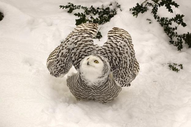 Snowy Owl - A large owl