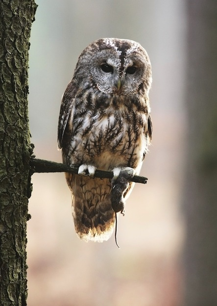 Tawny Owl or Brown Owl