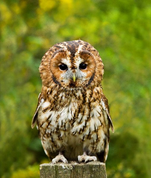 The Highly Territorial Tawny Owl