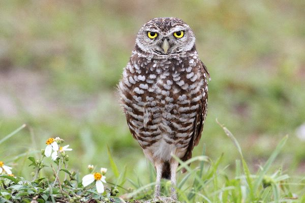 The Long Legged Burrowing Owl