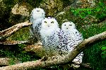 Three Beautiful Snowy Owls
