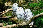 Three Beautiful Snowy Owls