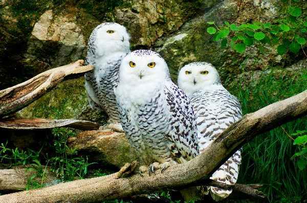Image result for three snowy owls