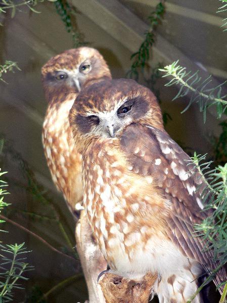 Two Boobook Owls
