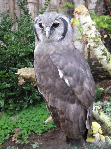 Milky Eagle Owl or Giant Eagle Owl