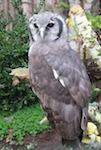 The Powerful Verreaux's Eagle-Owl