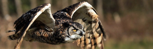 Owl Anatomy - Owl Facts and Information
