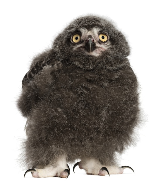 Information about Owl reproduction