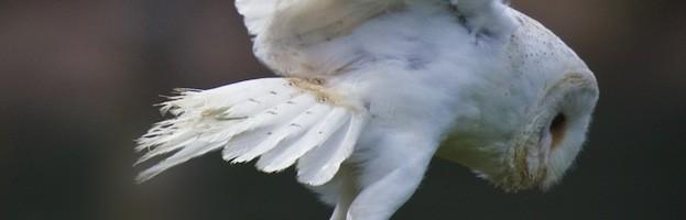 Owls Endangered