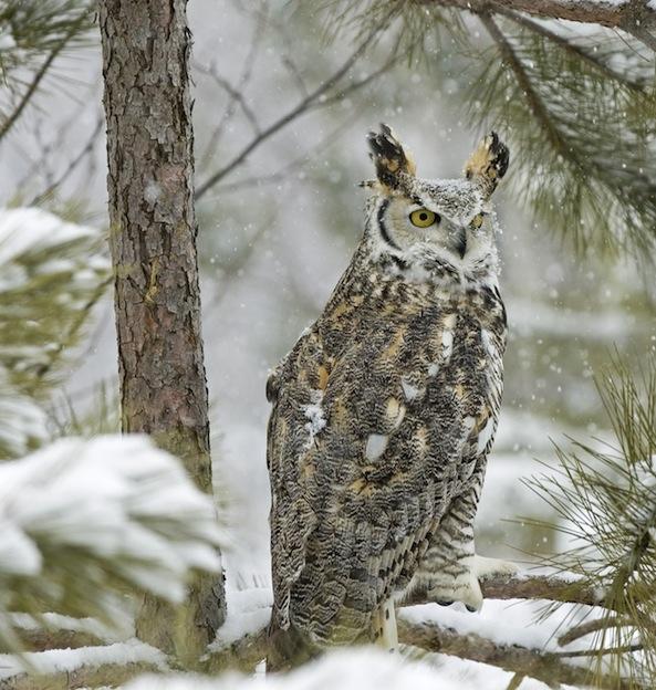 Owl Natural Habitat