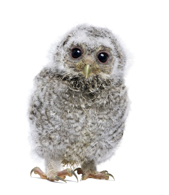 Fledgling or owlet
