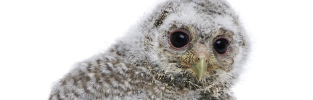 Owl Reproduction