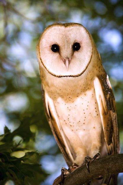 Owl Species and Subspecies